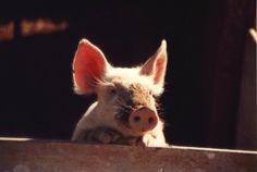 Cuteness overload, little piglet love