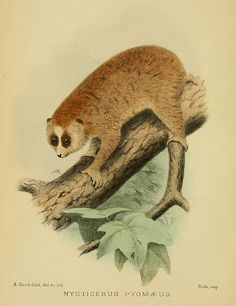 """The pygmy slow loris (Nycticebus pygmaeus)    """"On a Collection of Mammals made by Dr. Vassal in Annam"""". Proceedings of the Zoological Society of London 77 (1): 3–11. Illustrator: Herbert Goodchild"""