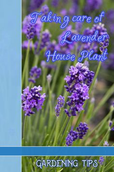 Tips and information for taking care of lavender plant in house. >>> Learn more by visiting the image link.