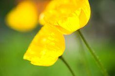 Kyoto Photo Press: Iceland Poppy Kyōto Botanical Garden, Sakyō-ku, Kyōto Nikon D700 Micro Nikkor 105mm F2.8 京都府立植物園(京都市左京区下鴨半木町)
