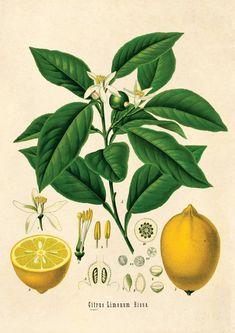 LEMON TREE PRINT: Vintage Botanical Yellow Fruit Art – The Print Arcade