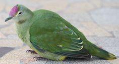 Ptilinopus greyii - Cerca con Google