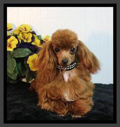 Toy poodle breeders wi
