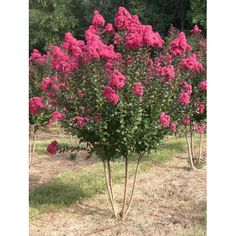 Pink Velour Crepe Myrtle, Jagerstroemia indica, is one of the many easy, fast growing drought tolerant crepe myrtles.  10-15' tall