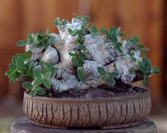 My Pots Staged - Pottery by kitoi. Keith Kitoi Taylor's pottery, plant and photo. Probably Pachypodium brevicaule. Succulents In Containers, Cacti And Succulents, Planting Succulents, Planting Flowers, Unusual Plants, Rare Plants, Cool Plants, Cactus Planta, Cactus Y Suculentas