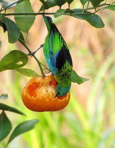 Foto saíra-sete-cores (Tangara seledon) por Ivo Kindel | Wiki Aves - A Enciclopédia das Aves do Brasil