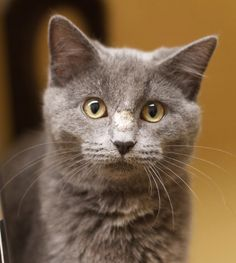 Available for adoption - *Lucy Lou is a female cat, Domestic Medium Hair, located at All Cats Rescue in Sioux Falls, SD.