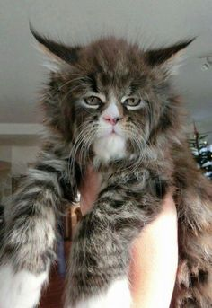 Maine Coon-Such a face! I've never seen a Maine Coon like this one before. It looks like it's part bobcat. Heavily part bobcat. Animals And Pets, Baby Animals, Funny Animals, Cute Animals, Funniest Animals, Pretty Cats, Beautiful Cats, Animals Beautiful, Norwegian Forest Cat