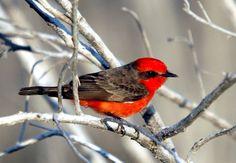 Vermilion Flycatcher - Lista de aves do Brasil – Wikipédia, a enciclopédia livre