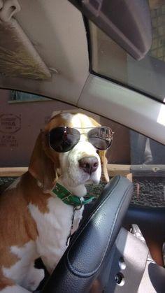 Nachi cool beagle