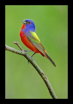 I saw my first painted bunting today while surveying the damage of the storm that had gone thru my neighborhood the night before!