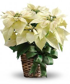 Nothing says like a A unique twist on the send this poinsettia as a - or keep it for yourself as christmas The flowering plant will be delivered by a local florist. A white poinsettia plant is potted. Christmas Plants, Christmas Flowers, Winter Flowers, Christmas Decorations, Christmas Eve, Plant Delivery, Flower Delivery, Order Flowers, Flowers Online