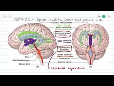 Fornix of the brain: structure and function - Human Anatomy | Kenhub - YouTube