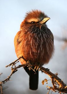 """""""This purple roller was sunning itself early one morning at the Madikwe Game Reserve, South Africa."""""""