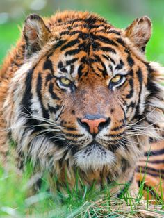 Male Sumatran Tiger Impressão fotográfica por Picture by Tambako the Jaguar na AllPosters.com.br