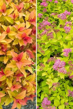 Foliage of 'Magic Carpet' never stops changing and 'Goldflame' combines yellow foliage and pink flowers.©judywhite/gardenphotos.com.