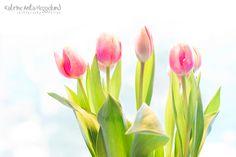Pink tulips. Katrine Anitas magiske verden: Morgenstund