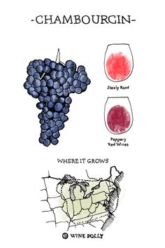 chambourcin Wine Grape Illustration and Regional Map by Wine Folly