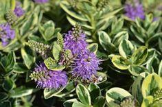 Hebe-Pflanze - Strauchveronika