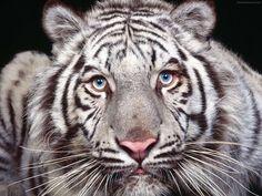 Tigre albino de ojos azules. Fotografia by Chan Xiang.