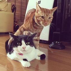意地悪の決定的瞬間。 #ハチワレ #texidocat #茶トラ #redtabby #tabby #cat  #ねこ#instagramcat #猫部 #ねこ部