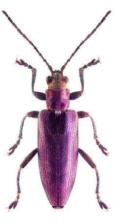 Donacia simplex purple