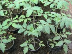 Tehnologie de cultura a tomatelor sau cultivarea rosiilor Plants, Plant, Planets