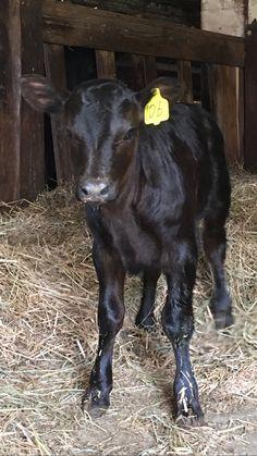 2016 angus calf - Tendercrop Farm Newbury MA
