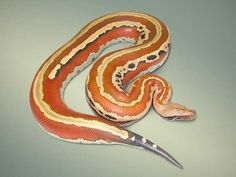 Striped Blood Python