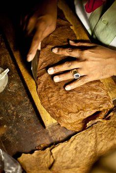 Tobacco leaves.  -making cigars.  Graycliff Inn, Bahamas.  © J NICOLE STUDIO