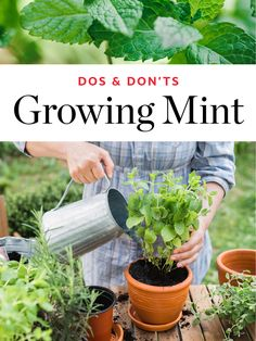The Dos & Don'ts of Growing Mint Mint Plant Care Tips - Dos Don'ts Growing Mint, Growing Ginger, Growing Herbs, Mint Plant Care, Mint Herb, Peppermint Plants, Peppermint Tea, Mint Garden, Types Of Herbs