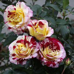 Floribunda Rose Camille Pissarro delstricol