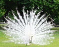 Albino Peacock #animals #albino