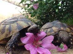 Hermans tortoise eating mallow flowers