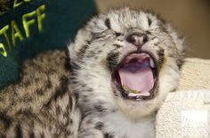 Baby snow leopard! Exciting times! Photo by Ryan Hawk/Woodland Park #Zoo. #Seattle #kittens