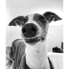 """When you ask your dog to say """"cheese"""" while you try to take a photo Funny Animal Photos, Funny Photos, Animal Pictures, Smiling Animals, Funny Animals, Cute Animals, Black And White Dog, Cartoon Wallpaper Iphone, Crazy Friends"""