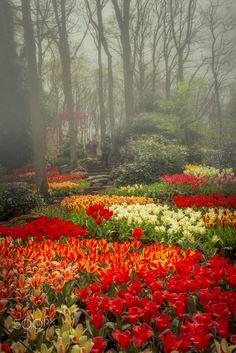 Morning Dreams (Keukenhof Gardens, Netherlands) by NamtaN NamtaN on 500px