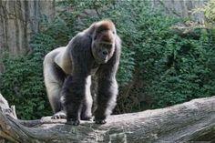 Western Lowland Gorilla 95.000 left #RacingExtinction