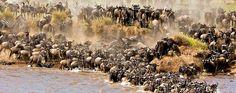Maasai Mara Wildebeest migration 2016