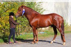 chestnut - Finnhorse stallion Patonki
