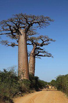 Corbis images. Royalty-free. Baobab Tree, Madagascar, Africa.