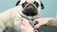 couper les griffes de son chien Dogs, Maligne, Animals, Voici, Gardens, Cats, Cat Urine, Roaches, Animais