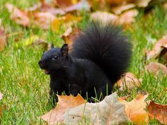 Black squirrel.. Have seen these squirrels in a small town in Alexandria, Indiana...