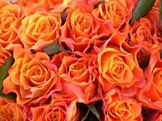 orange roses flowers 01