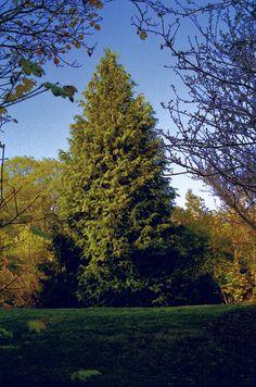 Chamaecyparis lawsoniana—Port Orford cedar. Regional Parks Botanic Garden Picture of the Day. 7 Dec 2015