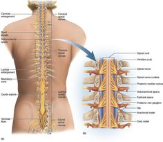 「spinal nerve sacrum」的圖片搜尋結果