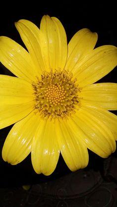 Flor de Contragavilana