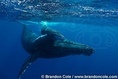 nn0009-D. Humpback Whales (Megaptera novaeangliae), mother and young calf. tropical Pacific Ocean