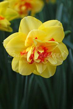 Daffodil - Tahiti