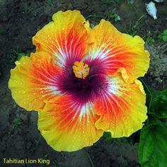 Hibiscus 'Tahitian Lion Queen - Pesquisa Google